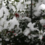 holly-in-the-snow